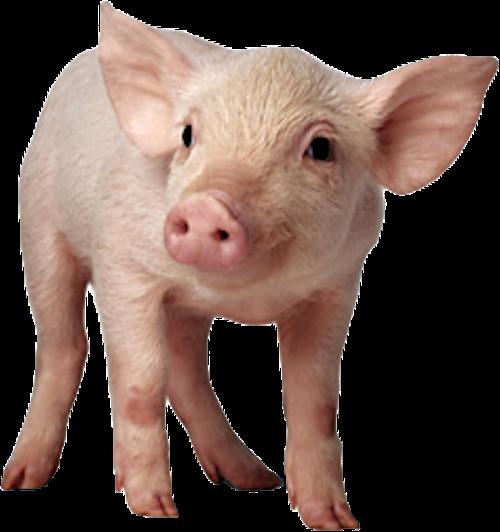 Pig Lady